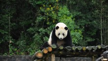 Bao Bao Panda Makes First Public Appearance.