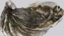 Ocean acidification Pacific Oyster
