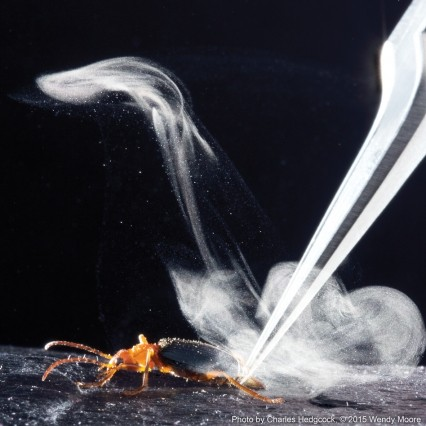 The explosive mechanism used by the beetle generates a spray that's much hotter than that of other insects that use the liquid, and propels the jet five times faster.
