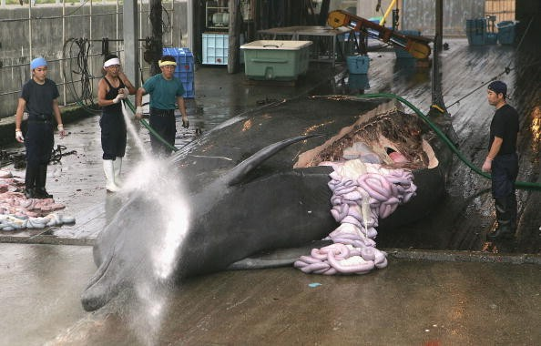 Japan Whale Hunting: Embattled Tokyo Lacks Evidence To Kill Antarctic Whales For Research