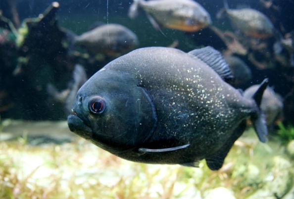 Pacu Fish Facts: 5 Interesting Things About This Omnivorous Fish With Human-Like Teeth