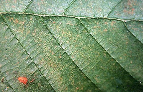 Leaf exhibits discoloration caused by ozone pollution