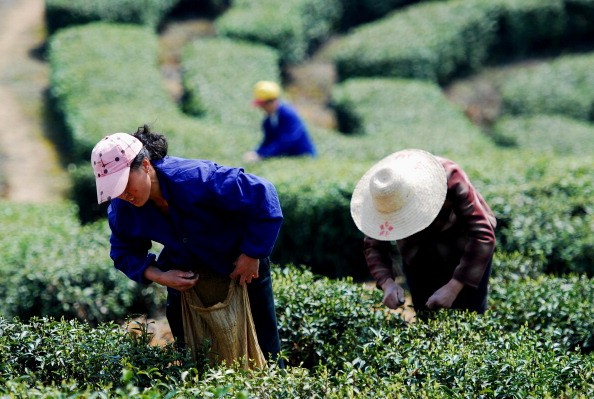 Laborers' pluck Lushan Clouds and Mist Green Tea on a hill on March 23, 2011 in Lushan, Jiangxi Province of China.  (Photo: ChinaFotoPress/Getty Images