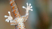 A Tokay gecko hanging upside-down on glass