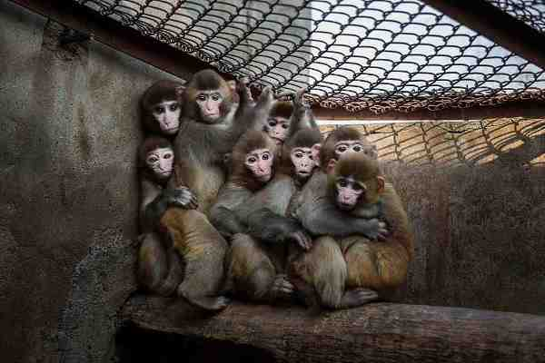 Chinese New Year Boosts Monkey Business for Villagers