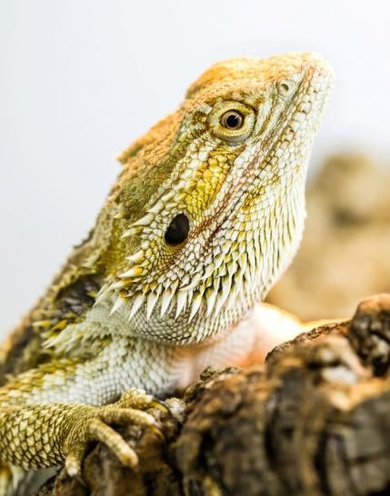 Study says that lizards and other reptiles undergo slow-wave sleep as well just like birds, humans and other mammals.