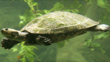 South American River Turtle