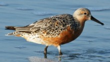The Arctic red knot is now shrinking in size due to warmer temperatures.