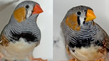 Zebra finches with redder beaks are preferred sexual mates than those with yellow beaks.
