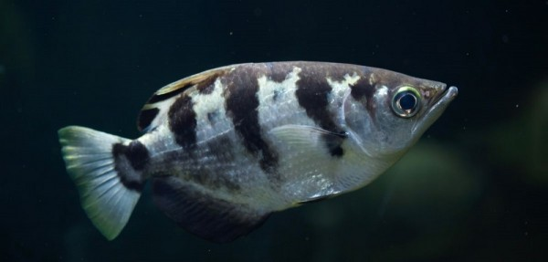 Archerfish can recognize different facial features in human faces.
