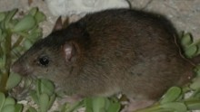 The Bramble Cay melomys is now extinct due to rising sea levels that drowned the mammals on its island.