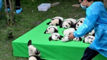 These 23 adorable panda cubs are all under 4 months old.